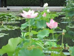 Botanic Garden Bronx by Water Lily Pond Picture Of New York Botanical Garden Bronx
