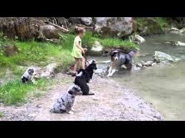 australian shepherd 4 monate gewicht australian shepherd welpen 7 8 wochen alt youtube