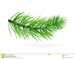 pine tree fir tree pine branches tree tree new year