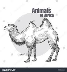 camel hand drawing animals africa series stock vector 749231098