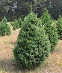 planting christmas trees christmas lights decoration