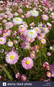 native plants perth perth western australia 1st sep 2016 spring wildflowers