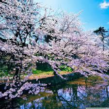 blossom trees cherry blossom trees 4k hd desktop wallpaper for 4k ultra hd tv