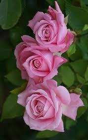 Flower Love Pics - best 25 pink roses ideas on pinterest pink flowers pink love