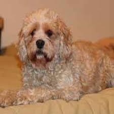 affenpinscher qualities affenpoo dog mix of affenpinsher and poodle