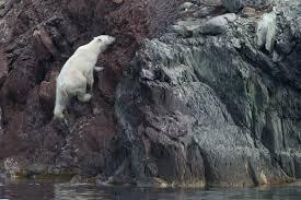 svalbard photography tours wildlife polar bear photography