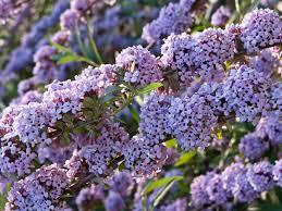 Shrub With Fragrant Purple Flowers - buddleja alternifolia alternate leaved butterfly bush