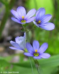 new england native plants sisyrinchium atlanticum eastern blue eyed grass go botany