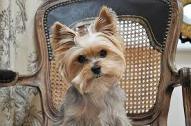 yorkie haircuts pictures only yorkie haircuts pictures only yorkie haircuts every day is tew