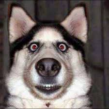 Surprised Meme Face - 50 most funniest dog pictures that will make you smile