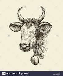 hand drawn cow bull sketch a farm animal vector illustration