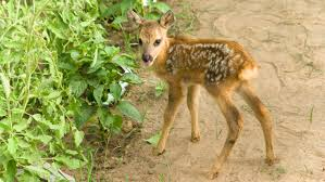 this is why you shouldn u0027t touch that baby deer 12news com