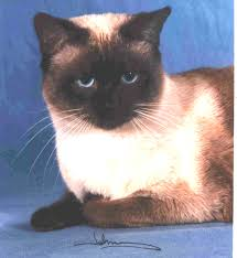 faq for the traditional siamese cats