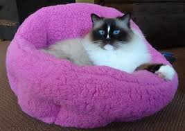 ragdoll cats everything you need to know about ragdoll cats