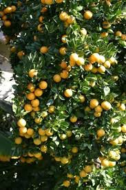 136 best fruit and citrus images on plants garden and