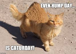 Caturday Meme - hump cat event hump day is caturday imgflip