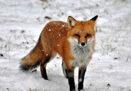 sleeping red fox wallpapers north american red fox images inspiration pinterest red fox