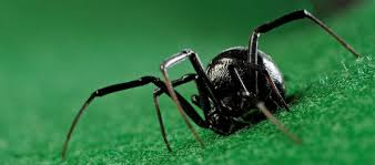 Black Widow Spiders Had A - 10 interesting facts about black widow spiders learnodo newtonic