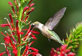 hummingbird flowers hummingbird nectar plants perennials for hummingbirds