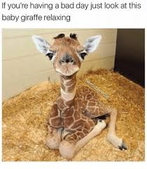 Meme Giraffe - if you re having a bad day just look at this baby giraffe relaxing