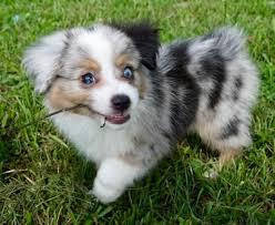 australian shepherd look alike puppies for sale peachstone u0027s toy aussies