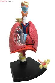 Human Anatomy Respiratory System Human Anatomy Plastic Anatomy Models System Model Trachea