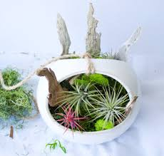 Cute Plant by Hanging Air Plant Garden Kelley And Cricket