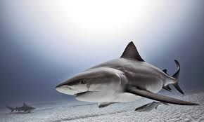 what is electroreception and how do sharks use it howstuffworks