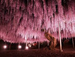 this 144 year wisteria in looks like a pink sky bored panda