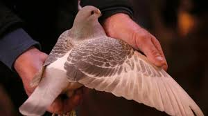 cuisine des pigeons voyageurs thuriau plumelin noyal pontivy des pigeons dans les écoles