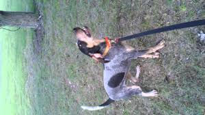 7 month old bluetick coonhound radar 9 month old english coonhound youtube