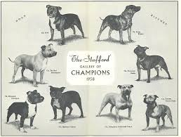american pit bull terrier breed standard breed standard of northern ireland staffordshire bull terrier club