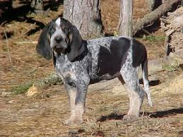 bluetick coonhound stuffed animal 128 best blueticks images on pinterest bluetick coonhound hound