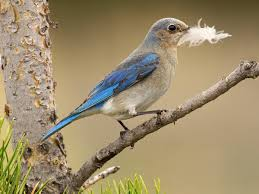 Bluebird Map Mountain Bluebird Audubon Field Guide
