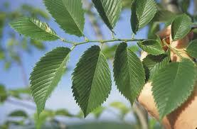 valley forge elm tree selection landscape plants