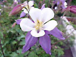 State Flower Of Colorado - panoramio photo of colorado columbine state flower