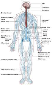 what is an organ system definition u0026 pictures video u0026 lesson