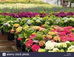 flowers for sale rows of flowers for sale at a retail garden center nursery or