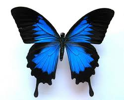 butterfly hair clip blue real butterfly hair clip or bouquet stem butterfly hair