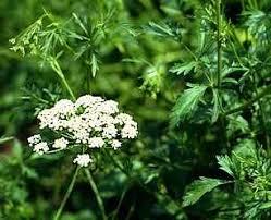 Herbatika-lekovito bilje  - Page 2 Images?q=tbn:ANd9GcRYjC3HKdEkQw5d-e_YRPrGushDc5IP1OF5Tp4sAr1ich_NAASN46KCav2FQw