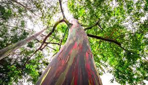 rainbow eucalyptus u2013 brainwork art u2013 think deeper explore more
