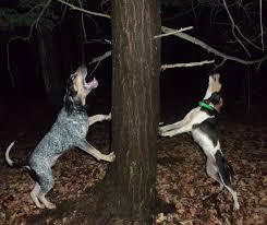 bluetick coonhound treeing ukc forums fch nitech grch robinson silvertone bluspeck