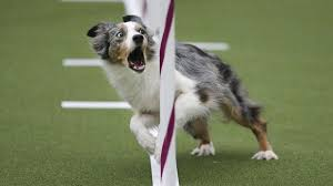 australian shepherd kennel club 12 drool worthy photos from the westminster dog show