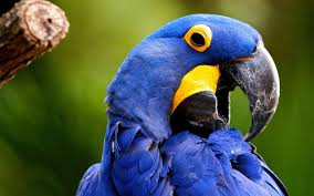 large blue bird wallpaper high quality large blue bird