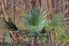 north texas native plants dallas trinity trails the wild palm trees of dallas county