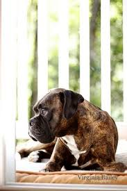 boxer dog reverse brindle reverse brindle boxer in the colors of a boxer coat boxer