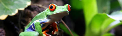 red eyed tree frog agalychnis callidryas rainforest alliance