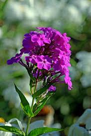 pnw native plants 39 best oregon natives images on pinterest flower gardening