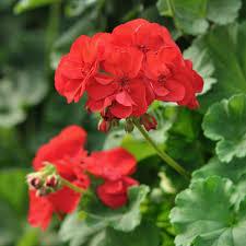 Geranium by Geranium Flower Essence Stillpoint Aromatics