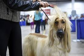 afghan hound top speed the national dog show draws more than 1 000 top canines to oaks